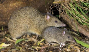 Bandicoot rat