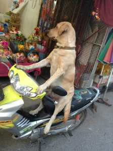 Middle Class Thai Life: Even the Dogs Drive Scooters!