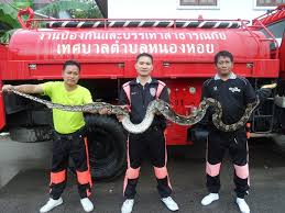 Big Snake in Chiang Mai